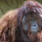 Heart Disease Fells Ape Modernist: Doc, Houston Zoo's Painting Orangutan Dies