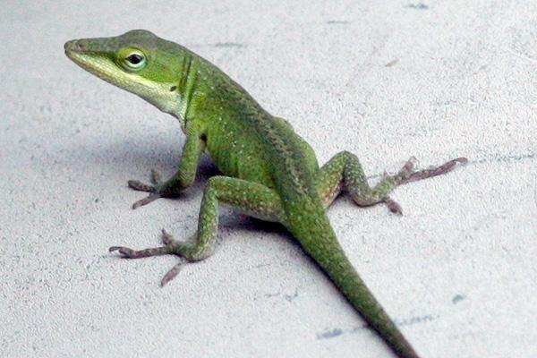 moss chumley lizard