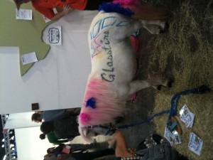 Sugar's a regular ol' white miniature horse, but she had kind of a slutty Halloween cantina girl costume on.