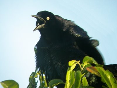 2009-05-17 grackle 2