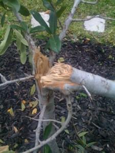 tree-damage-465x620