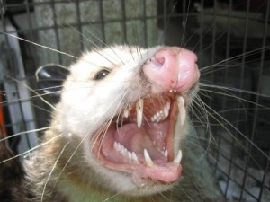 ugly-possum3