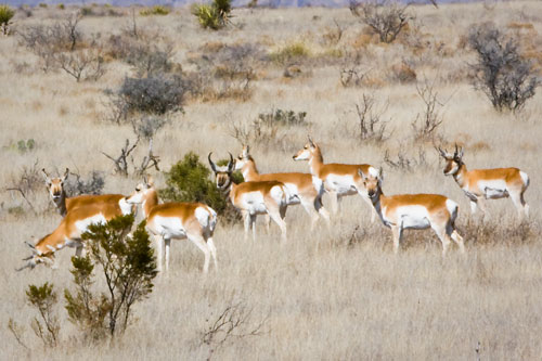 pronghorns_marfa