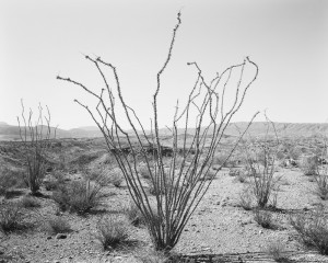 Ocotillo, Glenn Draw, 2012