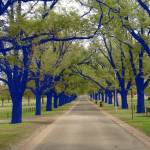 Blue Trees for Houston?