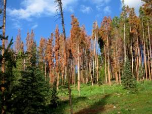dead-pine-trees-300x225