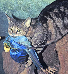 Model of feral cat with rosella from Gondwanaland Sanctuary, Brisbane