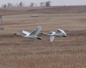 Trumpeter Swans, LaCreek National Wildlife Refuge, South Dakota (2012)