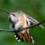 Lynn took this photography on August 22, 2007--of a rufous hummingbird that annually returned to her yard for at about six years.