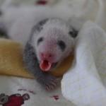 Cute Pandas! In 3D!