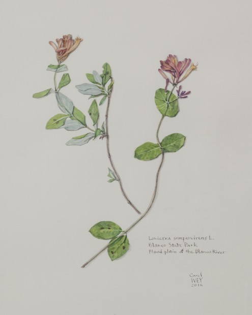 Ivey.Coral Honeysuckle from BRIT Herbarium