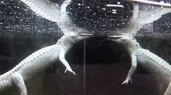 albino-crocodiles
