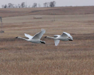 Trumpeter Swans, LaCreek National Wildlife Refuge, South Dakota (2012)