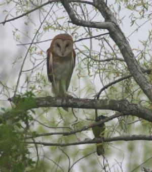 A green jay harasses a barn owl: Los Indios, February, 2005.