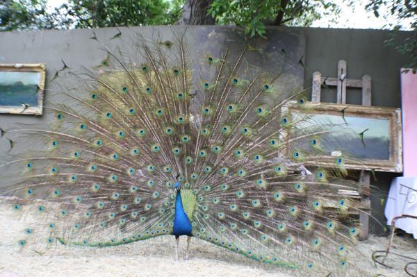 ruiz peacock