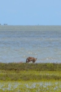 fox on Island 2