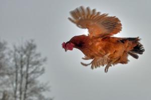 flying_chicken