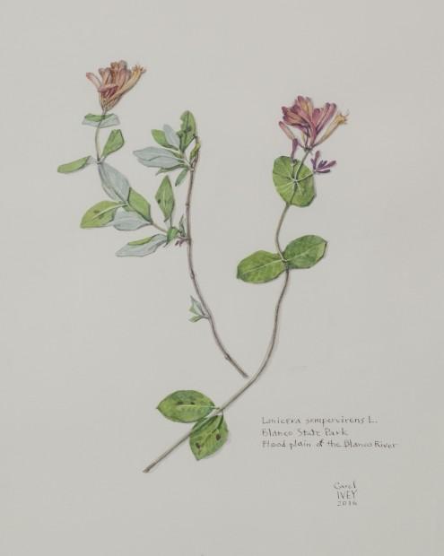 Ivey.Coral Honeysuckle from BRIT Herbarium