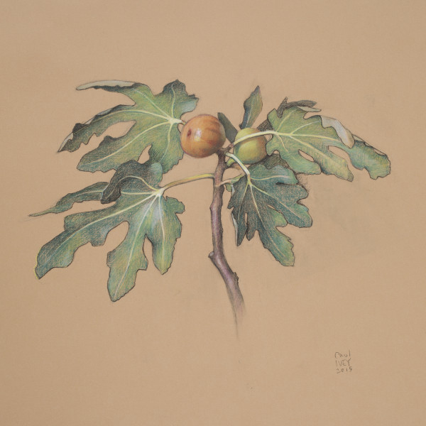 Ivey.Fruiting Branch, Fig