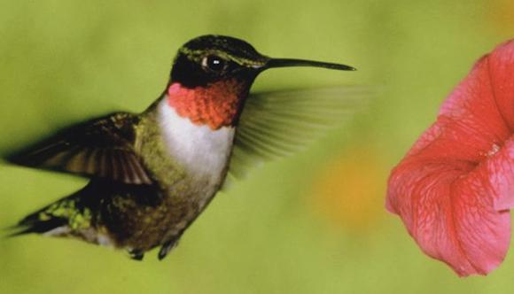 rockport_hummingbird