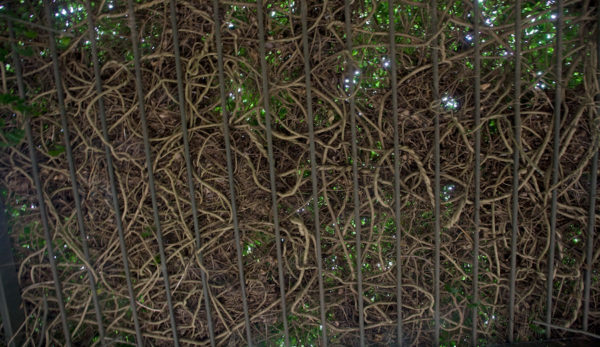 12-canopy-of-wisteria-vines