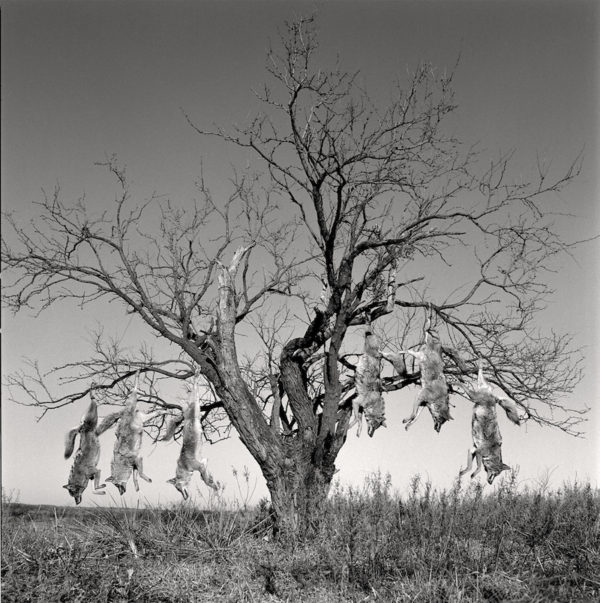 Mesquite Tree with Coyotes, Lambshead Ranch, Albany, Texas, January 9, 1988 Gelatin silver print