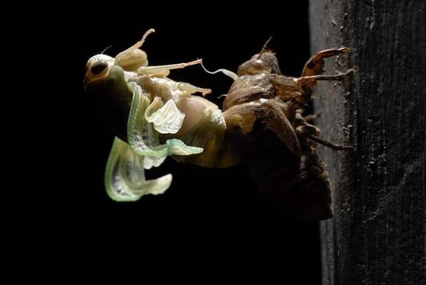 """From DeSoto's Emerging Series, 2010. """"Over the decades I have witnessed several """"Cigarras"""", or Cicadas, in the act of molting."""
