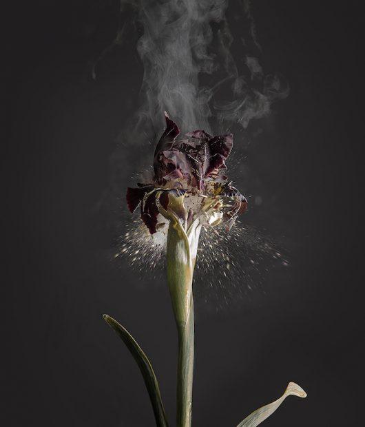 Iris atropurpurea, Digital01