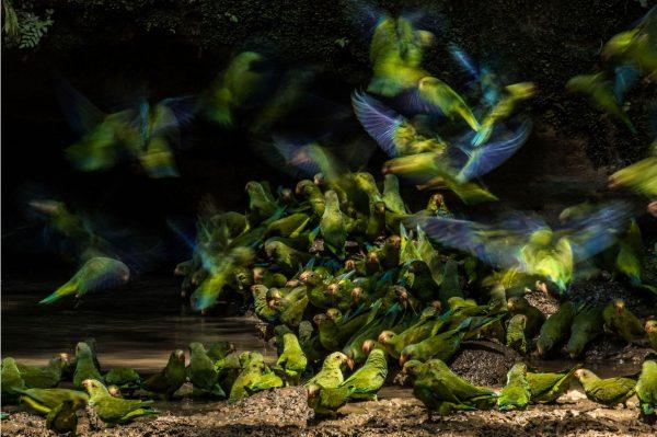 _Cobalt-winged-Parakeets-Liron-Gertsman-Audubon-Photography-Awards