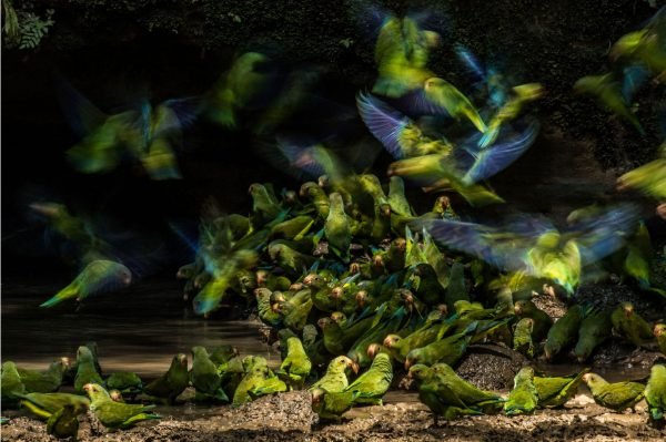_Cobalt-winged-Parakeets-Liron-Gertsman-Audubon-Photography-Awards