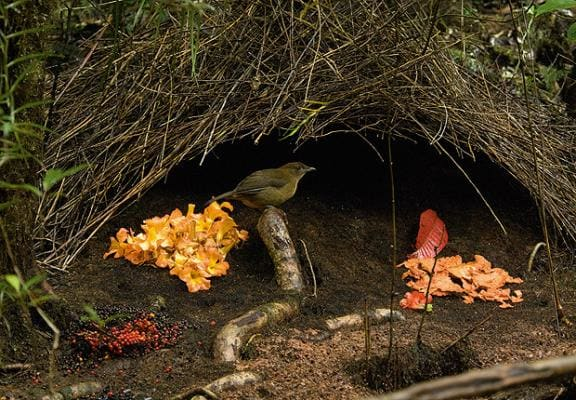 bowerbird-decorated-nest
