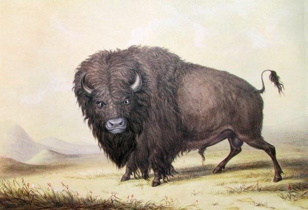 George_Catlin_Bull_Buffalo