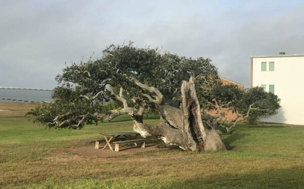 A wind-swept Live Oak tree in Rockport, Texas