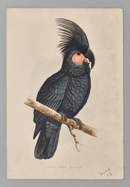Cockatoo book plate from the Dallas Museum of Art