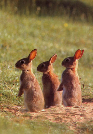 3 rabbits_small.jpg